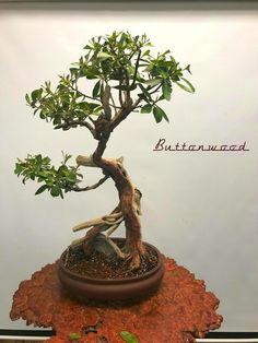 Miami Tropical Bonsai is one of the largest bonsai companies in the United States. We have over bonsai trees in stock, handmade bonsai pots, bonsai tools Wonder Art, Bonsai Trees, Shrubs, Miami, Planter Pots, Tropical, Plants, Christmas, Beautiful