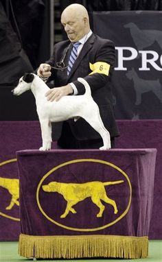 Eddie Boyes shows Adam, a smooth fox terrier and winner of the terrier group, during the 137th Westminster Kennel Club dog show, Tuesday, Feb. 12, 2013, at Madison Square Garden in New York. (AP Photo/Frank Franklin II)