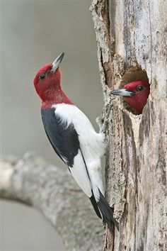 Red-headed Woodpeckers... I have seen these in person in Costa Rica.