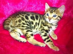 Bengal Cats Rosetted Available female bengal kitten. Very calm and affectionate. Bengal Kittens For Sale, Kitten For Sale, Bengal Cats, I Love Cats, Cute Cats, Funny Cats, Toyger Cat, Cat Entertainment, Asian Leopard Cat