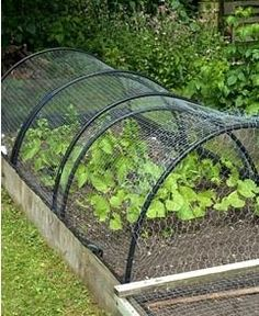 Nylon and wire netting protection from rabbits and pigeons on plastic supports above raised bed