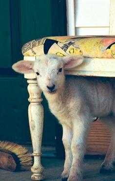 Laine d'agneau entretien