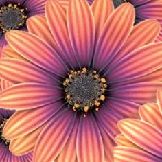 Osteospermum 'Astra Outback' - Plantes et Jardins