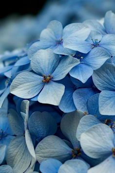 Hydrangea, otherwise known as Hortensia Hortensia Hydrangea, Hydrangea Colors, Hydrangea Garden, Hydrangea Flower, Blue Flowers, Beautiful Flowers, Bleu Pastel, Blue Wallpapers, Blue Aesthetic