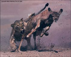African Lion Hunting | lions hunting bear