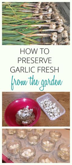 Enjoy fresh garlic year round with this easy step by step guide.  via Simple Living Country Gal | Simple living from the ground up