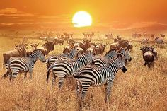 Herd Of Wild Zebras And Wildebeest In The African Savanna Against A Beautiful Orange Sunset. The Wild Nature Of Tanzania. Stock Photo - Image of african, safari: 112995570 Tanzania National Parks, Serengeti National Park, Yellowstone National Park, Monte Kilimanjaro, Jigsaw, Kenya Travel, Africa Travel, Tanzania Safari, Wild Nature