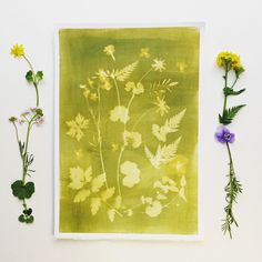 A #sunprint with a #pansy, #cuckoo-flowers and various leaves like #alchemilla, #cowparsley and #geranium on day 1 of #100daysofbotanicalcollages #the100dayproject