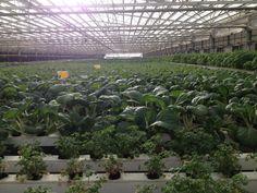 Intensive commercial roof-top vegetable-growing in a Jerusalem suburb. Courtesy of the Jerusalem Bioregion Center.
