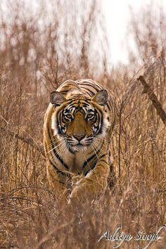 Stalking - Ranthambhore tiger reserve, India ~ photographer Aditya Singh #nature #tiger