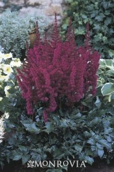 Vision In Red Astilbe - Monrovia - Vision In Red Astilbe