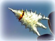 A Montana Agate Calapooya Arrowhead flintknapped by James K. Bowden.   http://www.Flintknappers.com/gallery/past2present  #arrowhead #flintknap #Indian #NativeAmerican #agate #gempoint #Calapooya