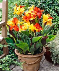 Choose from a huge selection of top quality Canna Lily Bulbs at the lowest prices anywhere. All Canna Lily Bulbs from Eden Brothers are currently on sale at up to regular retail price. Canna Flower, Canna Lily, Flower Pots, Flower Seeds, Tropical Landscaping, Tropical Garden, Tropical Plants, Colorful Garden, Landscaping Plants