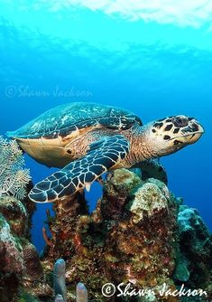 Sea turtle on the reef