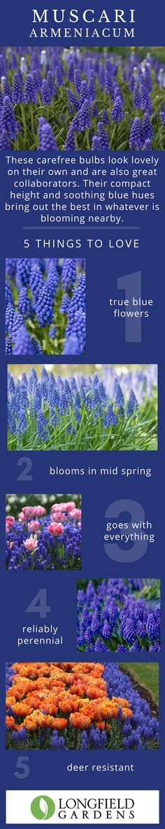 Easy to grow grape hyacinths bloom in mid-spring and are ideal companions for tulips, daffodils and hyacinths. The bright blue blooms are long lasting and return year after year. Spring Flowering Bulbs, Home Health Remedies, Garden Yard Ideas, Growing Grapes, Blue Garden, Cut Flowers, Daffodils, Perennials, Planting Flowers