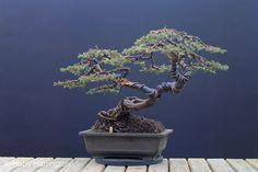 common juniper bonsai