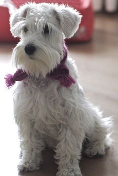 Leica with Scarf by Nilton Junior #Miniature #Schnauzer