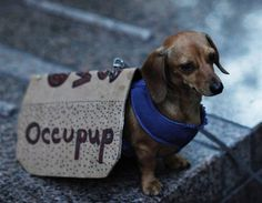 Protesting sausage dog - A dog is seen carrying a banner during a protest by Occupy Wall Street activists at Zuccotti Park in New York (© REUTERS/Eduardo Munoz)