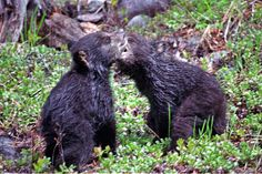 Black bears cubs ~ Christine O'Donnell