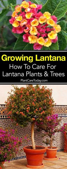 The lantana plant, a bright, sun-loving plant producing flowers in abundance and rewarding you with lots of color. Mastering lantana care is not difficult. Made to order for any bright patio with lots of sun. Lantana's are basically tropical plants requir Lantana Tree, Lantana Bush, Lantana Flower, Lantana Plant, Patio Plants, Landscaping Plants, Garden Plants, Sun Garden, Summer Garden