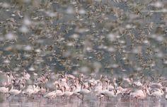 flamingos-small-shorebirds-Mumbai-Mangroves-Mumbai-Rakesh-dhareshwar.jpg (1536×989)