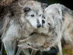 """Senators from Minnesota, Wisconsin and Wyoming yesterday introduced the """"War on Wolves Act,"""" a companion bill to legislation introduced last week in the House that would strip federal protections from wolves and allow trophy hunting and trapping of the species in four states."""