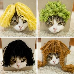 This kitty was very cooperative. Read about it: http://mymodernmet.com/maru-cat-in-a-wig/
