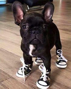 French bulldog wearing deny