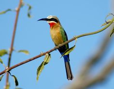 i put this photo up for Cait Whitson who seems to be pinning Bee Eaters I took this photo in Botswana in 2004.
