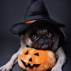 Boo Pug #halloween #pugs #dogs #puppies #pets #animals