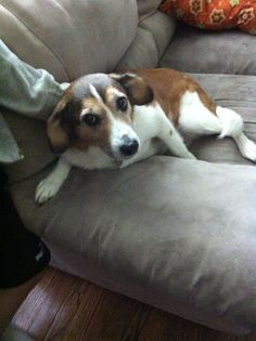 My dog Ruby! She is a beagle mixed with a border collie and she is a rescue from an animal shelter!
