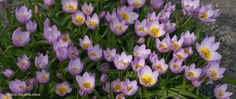 Tulip Bakeri Lilac Wonder | Southern Recommended Bulbs for Sale | COLORBLENDS
