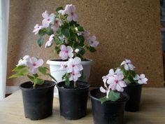 Pistike gyökereztetése két hét alatt - fotókkal | Balkonada Flowers, Plants, Florals, Planters, Flower, Blossoms, Plant, Planting