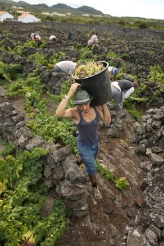 Men harvesting grapes amongst the labyrinth of black volcanic stones walls. Pico island Portugal