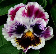 When I was not much older than a toddler, I remember our neighbor had pansies lining her walk to her front door.  I loved the velvety petals.  Pansy