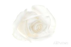 A White Rose Photographic Print by Robert Llewellyn at AllPosters.com