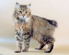^..^ The Kurilian Bobtail is a cat breed originating from the Kuril Islands, claimed by both Russia and Japan. Short- or long-haired, it has a semi-cobby body type and a distinct short, fluffy tail. The back is slightly arched with hind legs longer than the front, similar to those of the Manx. The original short-haired variant is a natural breed, known on the islands for over 200 years. In the wild this cat is an excellent fisherman and hunter.