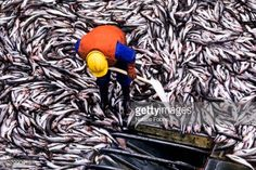 Stock Photo : Pollack Catch on Factory Trawler