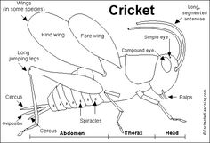 Cricket Diagram
