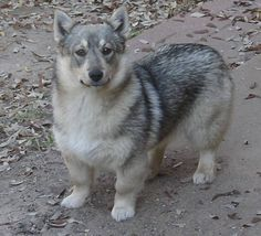 this is a swedish vallhund, it's basically a corgi wolf. get excited you guys.