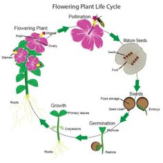 The average person may know very little about the life cycle of flowering plants, even though flowers have been used as symbols, medicines, ceremonial aids, . Flower Quotes Life, Flower Of Life, Growing Marijuana Indoor, Growing Weed, Montessori, Flower Poem, Planting Flowers, Flowering Plants, Plant Science