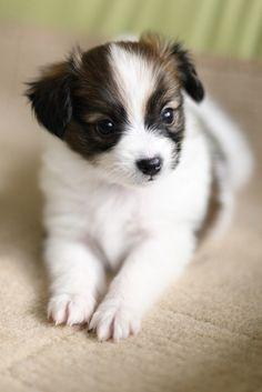 Adorable Little Papillon puppy..