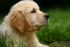 Golden Retriever Puppy - See more cute puppy pictures and dog training tips at TrainMyPuppies.com