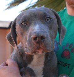 Smurfette (the name she arrived with) is a young, good-natured girl who likes to play ball with kids and she is debuting for adoption today at Nevada SPCA (www.nevadaspca.org).  She is a blue-grey & white Bully & Catahoula Leopard Dog mix (with merle coloring on her body), 1 year of age and now spayed.  Smurfette is reportedly housetrained and crate-trained.  She needed us due to her previous owners' financial hardship.