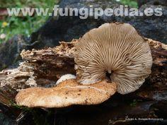 Crepidotus crocophyllus es un hongo del orden Cortinariales también conocido como Crepidotus fulvifibrillosus, .. ver más información.