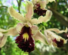 Cayman Islands ( Wild Banana Orchid )