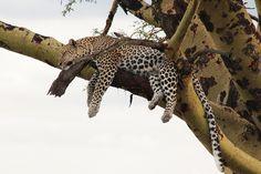Leopard! (13) by Yipski, via Flickr