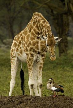 Rothschild Giraffe and Egyptian Geese