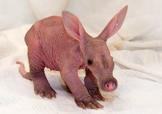 bebe Aardvark do Zoo de Detroit_eles são uma espécie de tamanduá africano.
