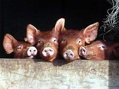 """The Tamworth is a breed of domestic pig originating in the United Kingdom, with input from Irish pigs.[1] It is among the oldest of pig breeds and is listed as """"Threatened"""" in the United States[2] and """"Vulnerable"""" in the UK by the Rare Breeds Survival Trust as there are fewer than 300 registered breeding females."""